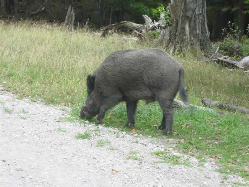 Lainzer Tiergarten Wildschwein beim Wandern