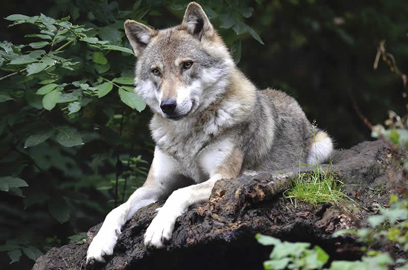 Wildpark Ferleiten in Fusch Salzburg / Wolf