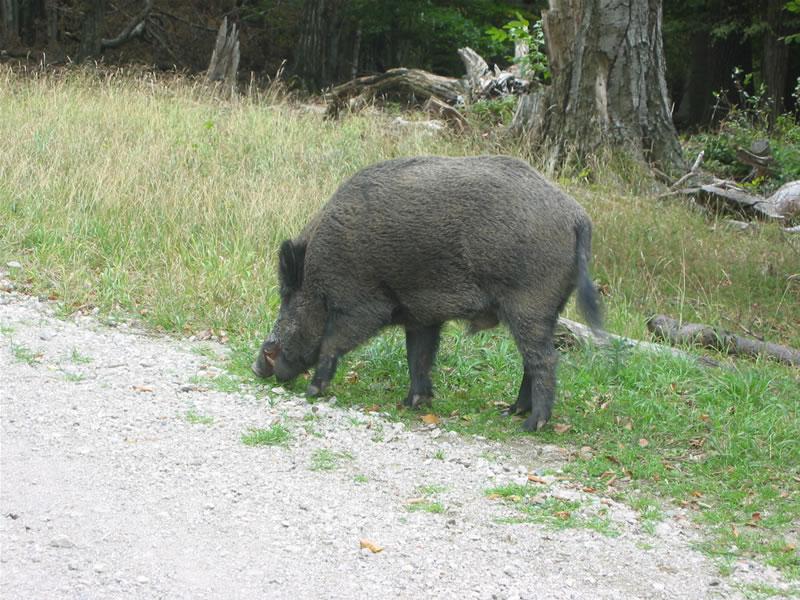 Lainzer Tiergarten + Wildschwein
