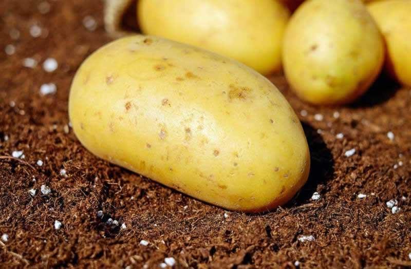 Lebensmittel Kartoffel oder Erdäpfel