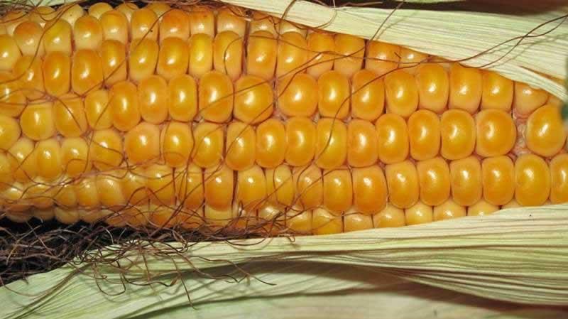 Lebensmittel Mais
