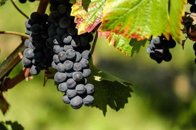 Lebensmittel Weintrauben