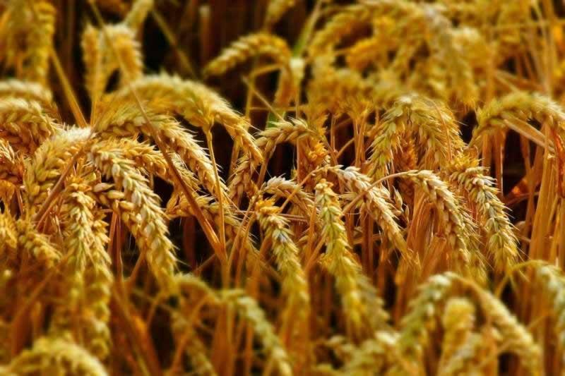 Lebensmittel Weizenkeime