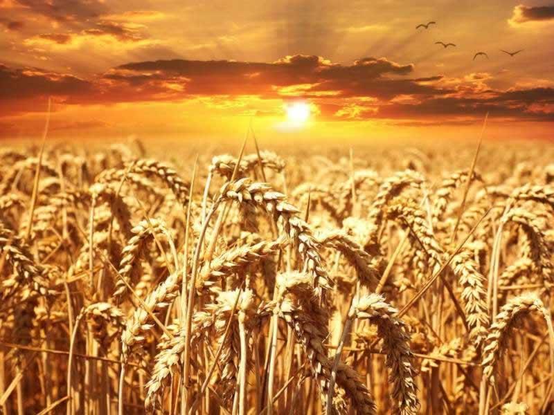 Lebensmittel Weizenvollkornmehl