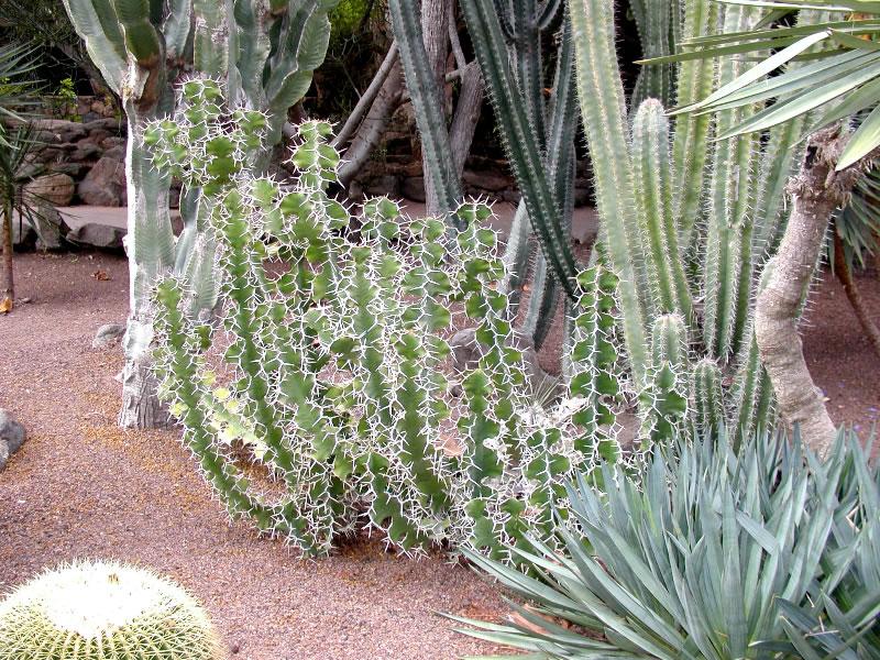 Botanik auf Gran Canaria